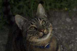 Tabby cat looking up | Pet Behaviour Counselling in progress